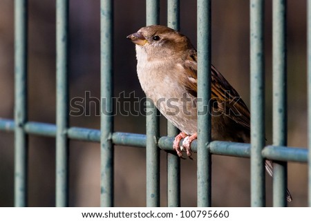 House sparrow sitting in the cage - stock photo