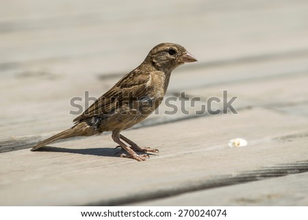 House sparrow staying at the wooden floor and looking at the peace of bread - stock photo