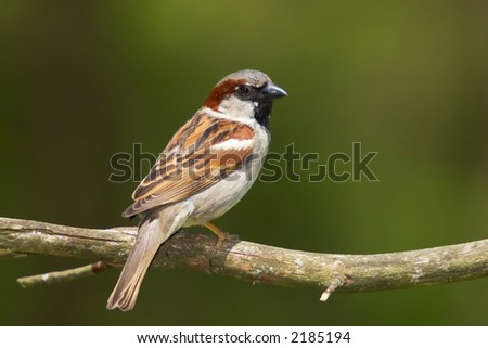House Sparrow - York County, Pennsylvania - stock photo