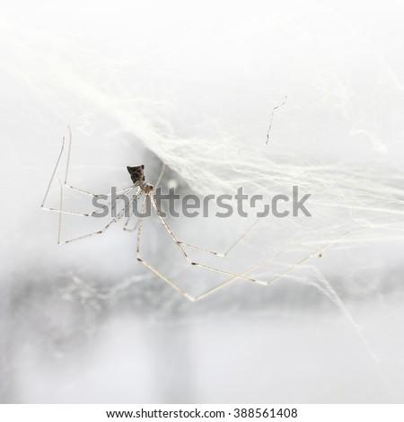 House spider long legs on cobweb - stock photo
