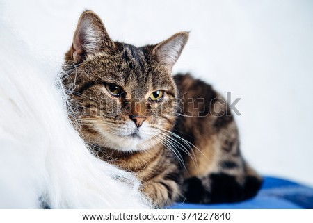 housecat tabby lying on a white background - stock photo