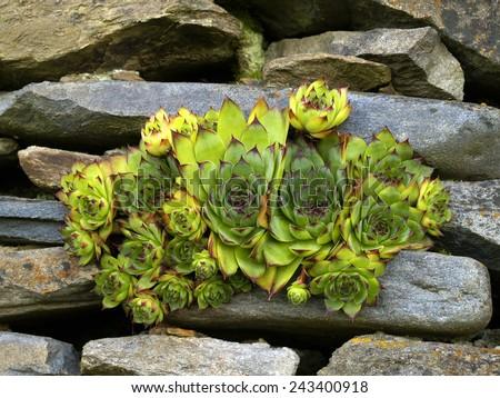 Houseleek between rocks in mountains (south Moravia region) - stock photo