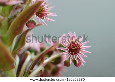 Houseleek flower closeup - sempervivum inflorescence. Blooming hen and chicks succulent plant. - stock photo