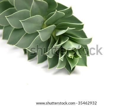 Houseleek - sempervivum on white background - stock photo