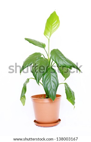 Houseplant aglaonema modestum with big green leaves in a brown pot isolated on white background.