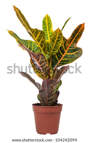 houseplant Codiaeum Mix is isolated on a white background
