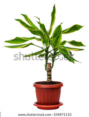 houseplant Dracaena fragans is isolated on a white background - stock photo