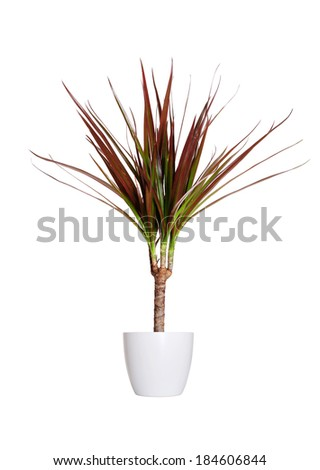 Houseplant - dracena marginata a potted plant isolated over white - stock photo