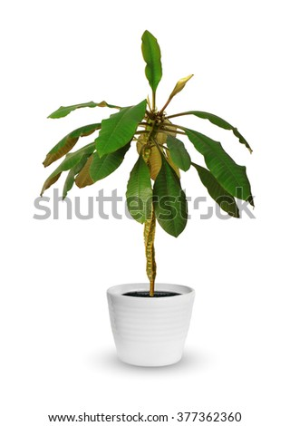 Houseplant - euphorbia a potted plant isolated over white - stock photo