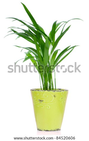 Houseplant in ceramic pot isolated on white background.