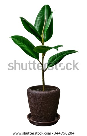 Houseplant on white background (pipal) - stock photo