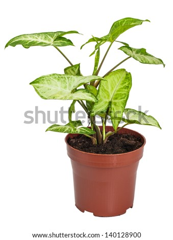houseplant Syngonium - stock photo