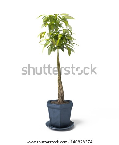 Houseplant Yucca A potted plant isolated on white