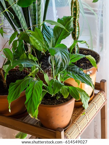 Houseplants. Spathiphyllum in the apartment