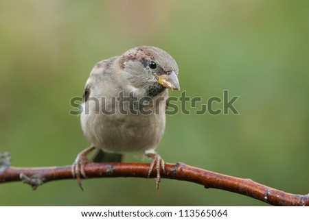 Housesparrow on a branch looking to the right