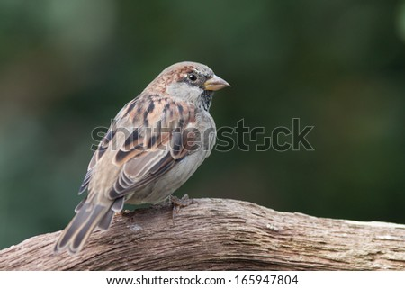 Housesparrow sitting on a branch