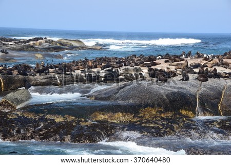 Hout Bay Seals in South Africa - stock photo