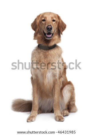 Hovawart dog, 1 year old, sitting in front of white background