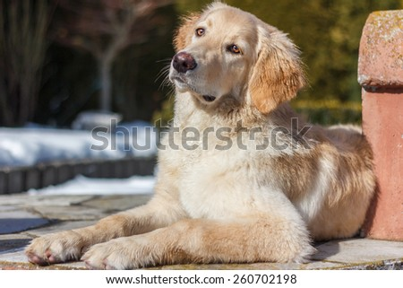 Hovawart golden puppy lying on the ground