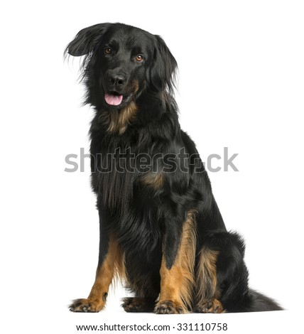 Hovawart sitting in front of a white background - stock photo