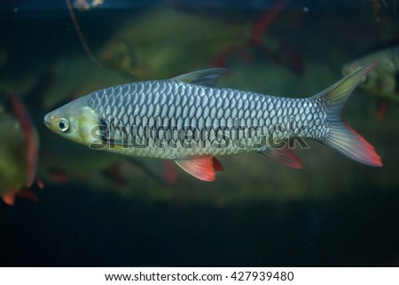 Hoven's carp (Leptobarbus hoevenii), also known as the mad barb or sultan fish. Wildlife animal.  - stock photo
