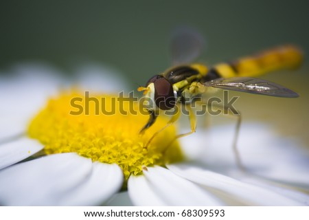 Hover fly collecting pollen from daisy