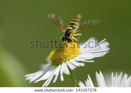 Hover fly flower macro - stock photo
