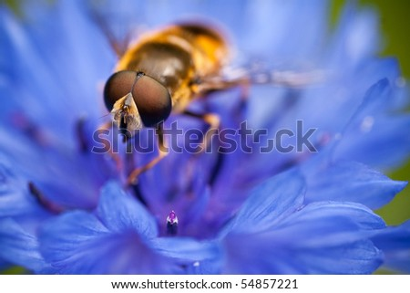Hover fly On A Blue Flower