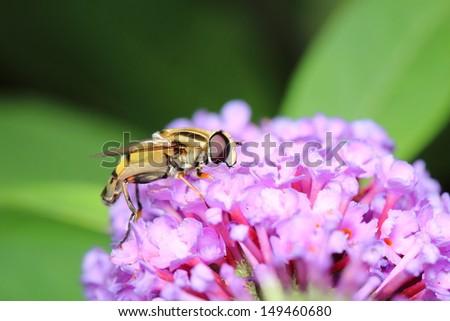 Hoverfly - stock photo