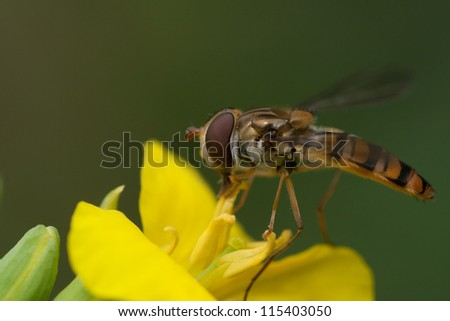 Hoverfly eating nectar from a yellow flower