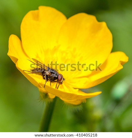 Hoverfly on a Bulbous Buttercup