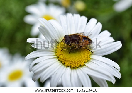 Hoverfly on Ox-Eye Daisy, West Virginia, USA - stock photo