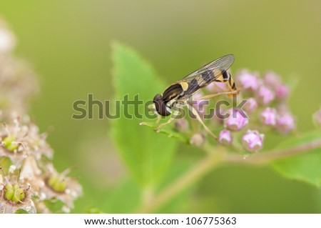 Hoverfly on pollen of a pink flower