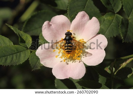 Hoverfly (Syrphidae) on the flower of dog rose (Rosa canina) - stock photo