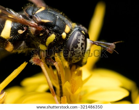 hoverfly with black spotted eyes extracts pollen from yellow flower - stock photo