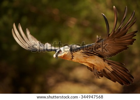 Hovering adult bearded vulture in full orange color plumage over dry grass in the Spanish Pyrenees  - stock photo