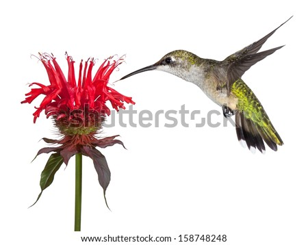 Hovering over a crown of red, a hummingbird shows delight over a solitary monarda flower. Tongue out lickng its beak, the tiny bird dives into the heavenly blossom. - stock photo