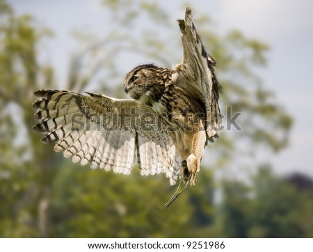 hovering owl at a bird show Leeds Castle Britain UK which is a major attraction of falconry for tourism