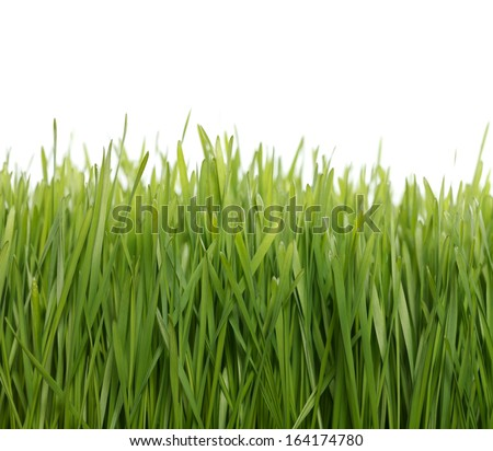 How to grow fresh green wheat at home - stock photo