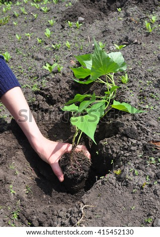 How to Plant and Grow Sweet Potatoes. Growing Sweet Potatoes. Sweet potatoes come in two forms: vining and bush varieties. Both types thrive in the hot summer sun and are relatively easy to grow.