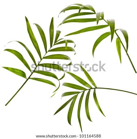 Howea palm tree leaf isolated on white - stock photo