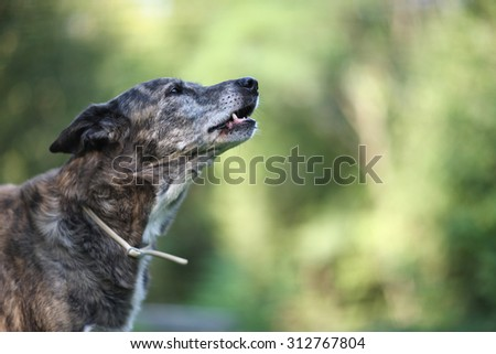 Howl of a dog - stock photo