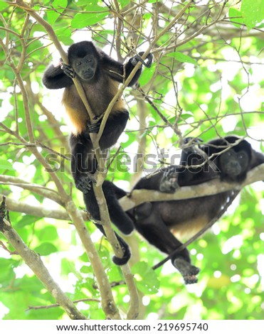 howler monkey young male resting in tree looking , corcovado national park, costa rica - stock photo