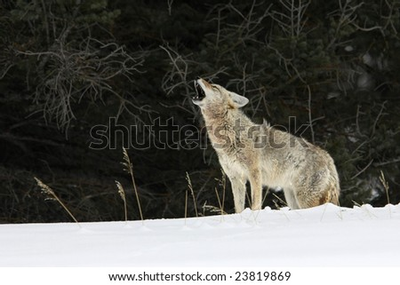 Coyote Howling Stock Images, Royalty-Free Images & Vectors ...  Coyote Howling ...