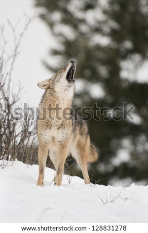 Howling Coyote in Snow - stock photo