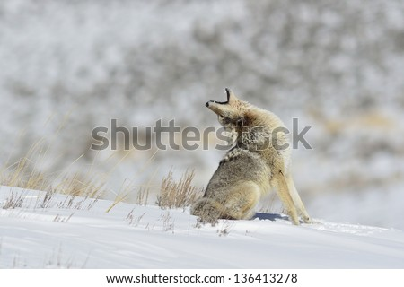Howling coyote in Yellowstone - stock photo