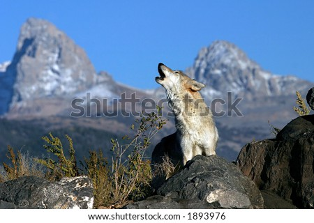 Howling Gray Wolf - stock photo