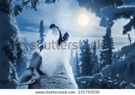 howling to the moon - stock photo