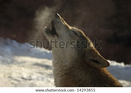 Howling wolf. - stock photo