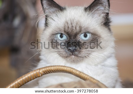 Huba the rag doll cat